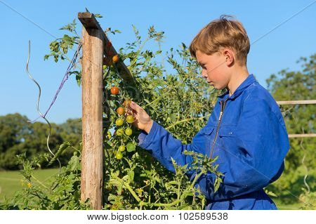 Farm boys picking the tomatoes in vegetable garden
