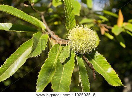 Green Chestnut Cupule