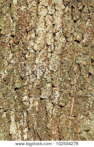 Deciduous Tree Bark