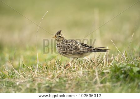 Skylark Alauda arvensis on the grass calling