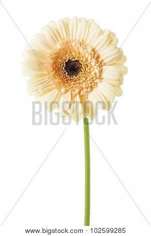 Beige gerber daisy isolated