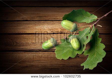 Oak Acorn.