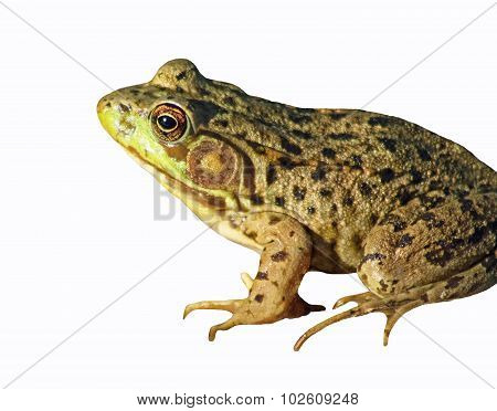 The GREEN FROG isolated on a white background