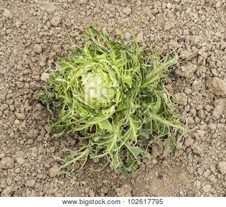 Eaten Cabbage