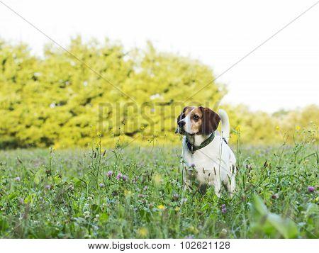Posing Beagle
