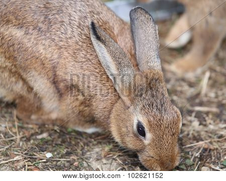 Rabbit With Long Ears And Ruffled Fur