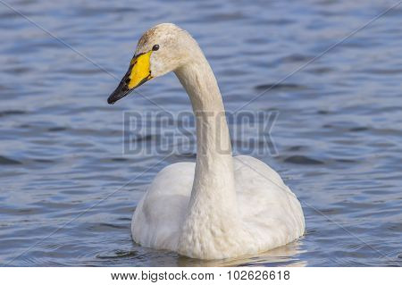 Whooper Swan Cygnus cygnus swimming on a loch close up