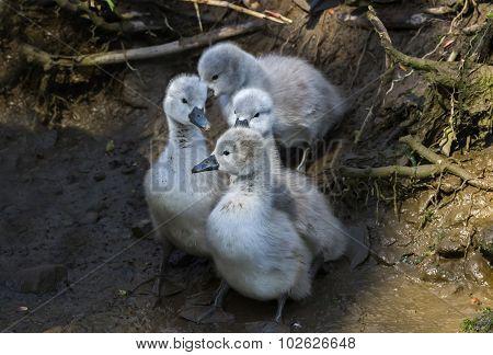 Mute swan Cygnus olor Cygnets sliding down a muddy bank
