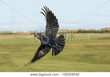 Rook flying in front of a golf course, close up