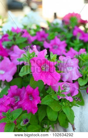 Purple petunia close-up, on light background