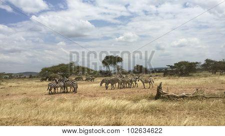 Zebra' S Grazing On Grassland In Africa