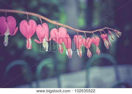 Bleeding Heart Flower Retro