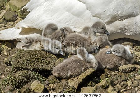 Mute swan Cygnus olor with Cygnets sitting on the rocks by the river