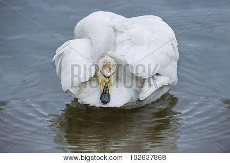 Whooper swan Cygnus cygnus grooming on a loch