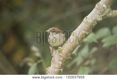 Sparrow Passer domesticus male perched on a branch