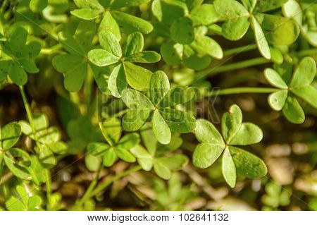 Green Shamrock On Sunlight