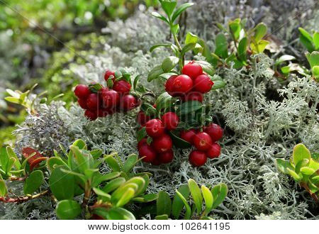 Cranberry Cowberry bushes close up on Moss Reindeer surface