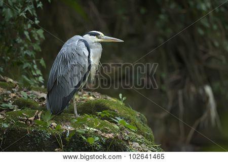Grey Heron ardea cinerea standing on a rock by the riverside