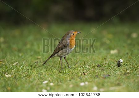 Robin, redbreast, standing on the grass in a garden