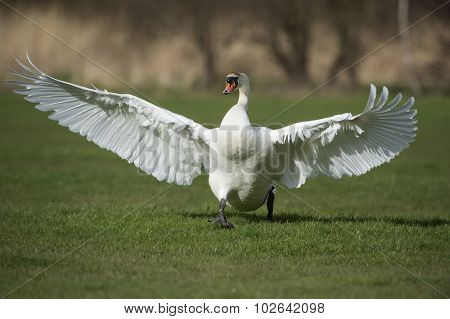 Mute swan Cygnus olor running with open wings