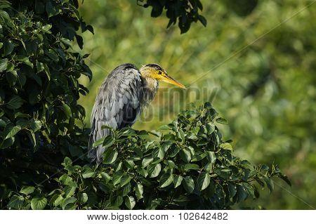 Grey Heron ardea cinerea sitting in a tree