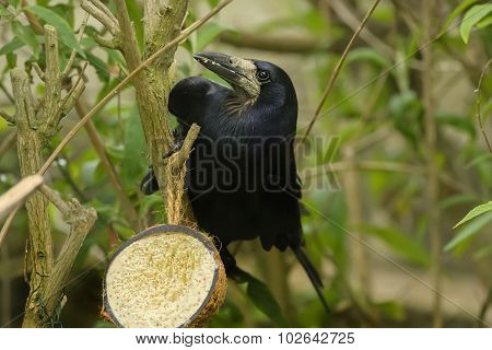 Rook perched on a branch eating from a coconut shell