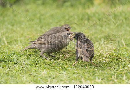 A Starling Sturnus vulgaris feeding its babies on the grass