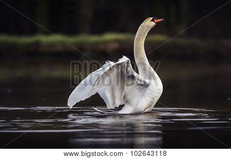 Mute swan Cygnus olor displaying on a pond