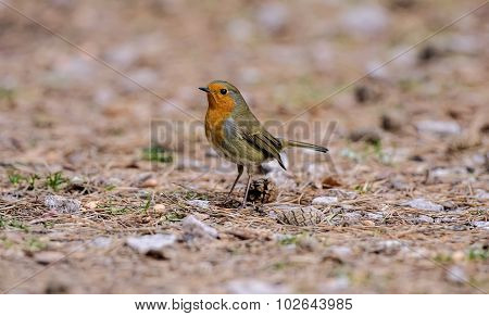 Robin redbreast, Erithacus rubecula, on the ground
