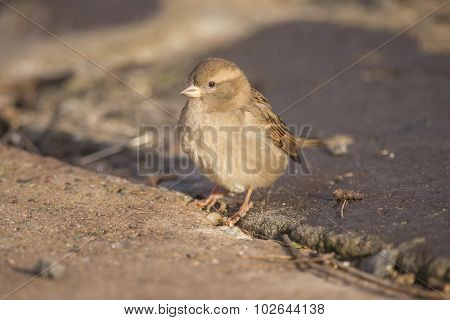 Sparrow Passer domesticus standing on pavement looking for food
