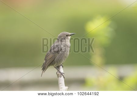 A baby Starling Sturnus vulgaris perched on a branch