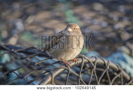 Sparrow Passer domesticus perched on creel