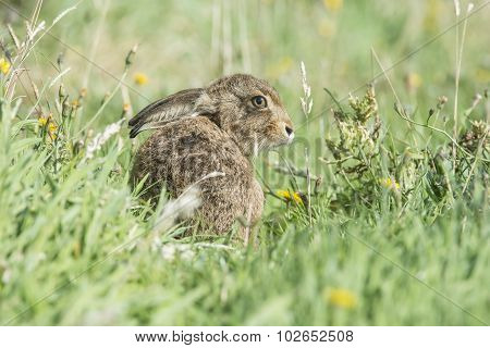 Brown Hare, Lepus, juvenile sitting on the grass