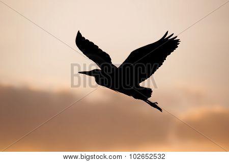 Heron, ardea cinerea, silhouette flying, close up