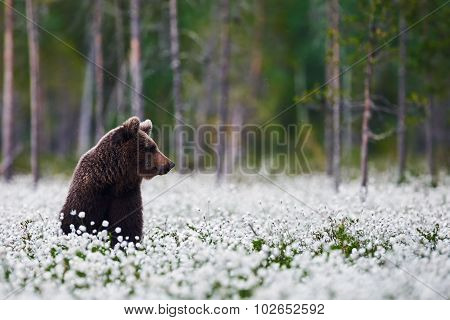 Brown Bear Between The Cotton Grass
