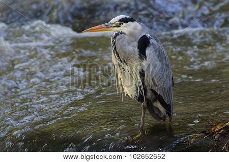 Heron ardea cinerea standing in a river