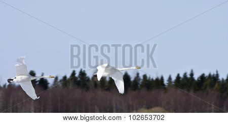 Whooper swan in formation, bird migration.