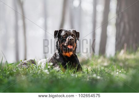 Beautiful Rottweiler dog lying in the grass and looking to the top on a beautiful background with a