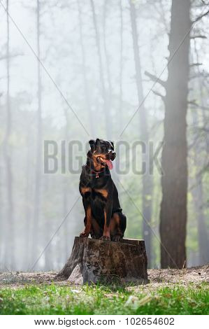 Beautiful Rottweiler dog breed is sitting on a stump on a background of smoke in the woods