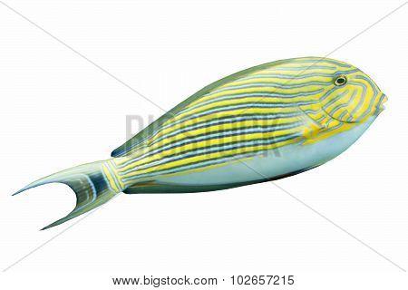 Blue Banded Surgeonfish