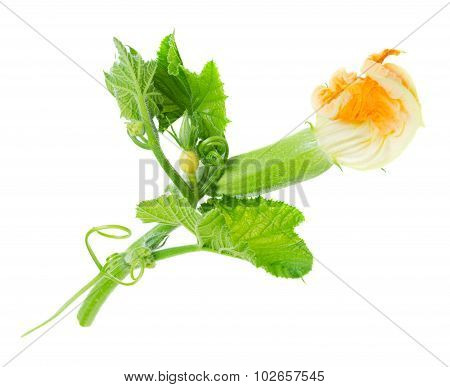 Baby Zucchini With Flower Isolated