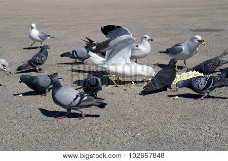 Pigeons and Gulls Eat Popcorn