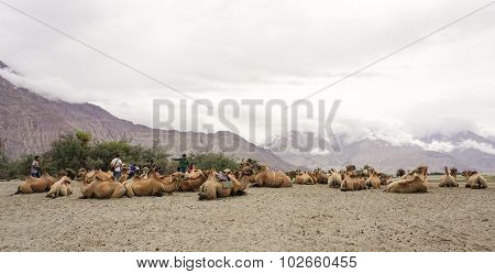 Bactrian Camel In Nubra Valley, Ladakh