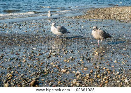 Seahurst Beach Seagulls 3