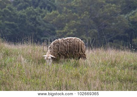 Shaggy Mountain Sheep Grazing In Meadow