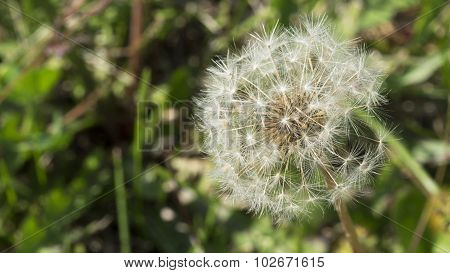 Dandelion Puff. Fine Detail of Dandelion Seeds.