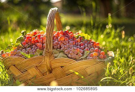 Freshly Harvested Grapes In The Brushwood Basket.