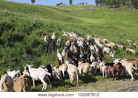 Herd of goats grazing on a green hill.