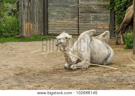 White Camel In Zoo