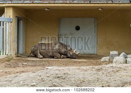 Large Rhino  Sleep